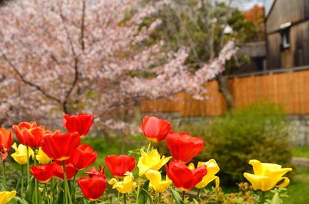 チューリップと桜