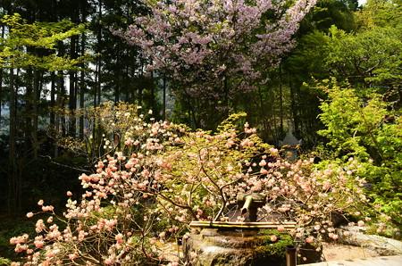 紅花三椏と桜