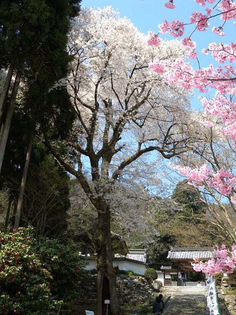 酒波寺の「行基桜」