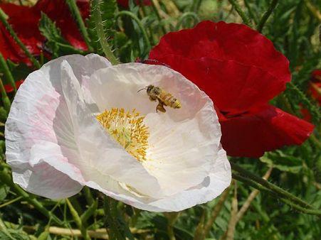 シャーレーポピーとハチ