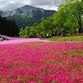 写真: 羊山公園芝桜24