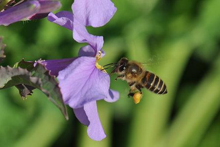 ミツバチ科 ニホンミツバチ