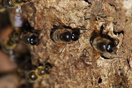 ミツバチ科 ニホンミツバチ♂
