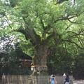 写真: 2014-06-30_05_熱田神宮・大楠