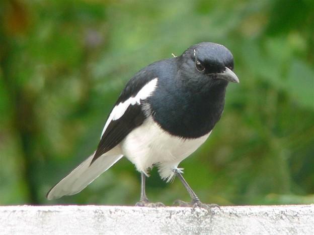 シキチョウ(Oriental Magpie Robin) P1180938_R