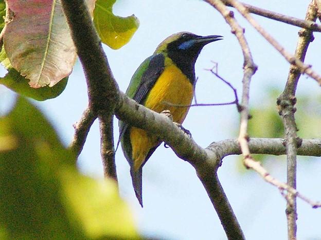 Photos: アカハラコノハドリ♂(Orange_bellied Leafbird)IMGP24560_R