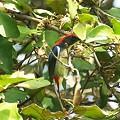 Photos: セアカハナドリ♂(Scarlet-backed Flowerpecker) IMGP48191_R