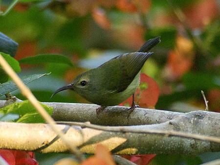 ムナグロタイヨウチョウ♀(Black-throated Sunbird) IMGP50610(LR)_R
