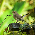 写真: オジロヒタキ(Red Throated Flycatcher) IMGP52766_R2