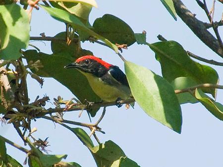 セアカハナドリ(Scarlet-Backed Flowerpecker) IMGP53353_R