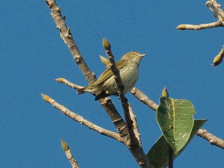 アオハナドリ(Plain Flowerpecker) IMGP53882_R