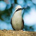 Photos: ハクオウチョウ(White-crested Laughingthrush) IMGP54954_R