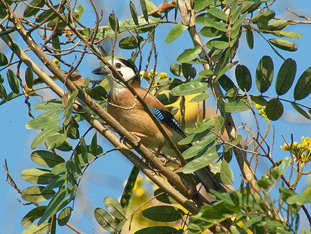 カケス(Eurasian Jay) IMGP55401_R