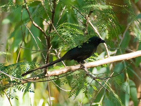 クロラケットオナガ(Racket-tailed Treepie) IMGP100479_R