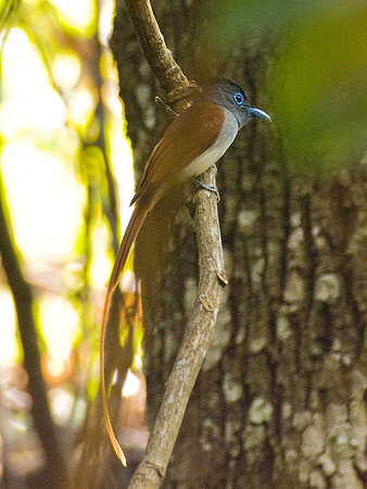 カワリサンコウチョウ(Asian Paradise-flycatcher) IMGP107254_R