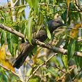 Photos: オウチュウカッコウ(Drongo Cuckoo) IMGP104731_R2
