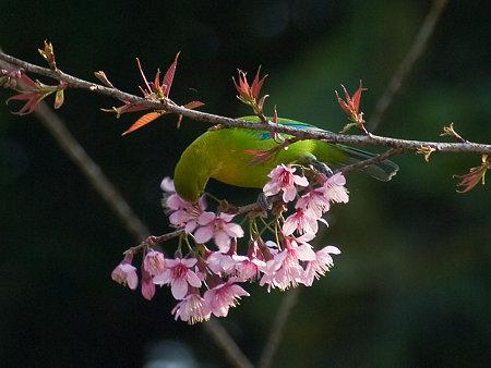 アオバネコノハドリ(Blue-winged Leafbird) IMGP102468_R