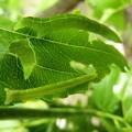 Photos: 棗の葉を食べている