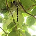 Photos: 柿の木にトンボが