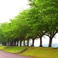 緑の桜並木