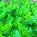 紫陽花の葉にかえるは何匹いるでしょう??(^o^)丿
