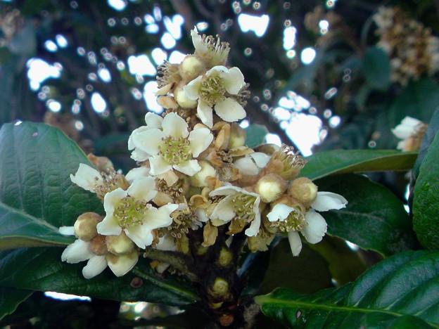 枇杷(びわ)の花は11月の終わり頃から咲き始め、12月に盛りになり。果実は6月頃に稔ります