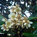 Photos: 枇杷(びわ)の花は11月の終わり頃から咲き始め、12月に盛りになり。果実は6月頃に稔ります