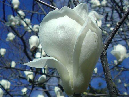 モクレン(白木蓮)の花