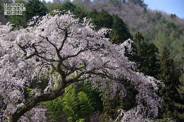 黒船の桜 (14)