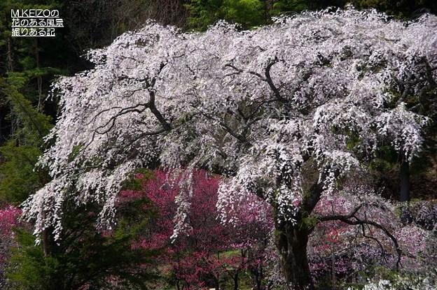 黒船の桜 (3)