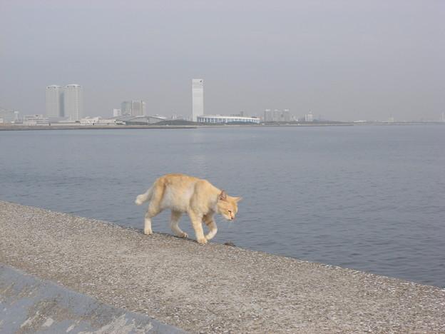 写真: 防波堤を歩く猫