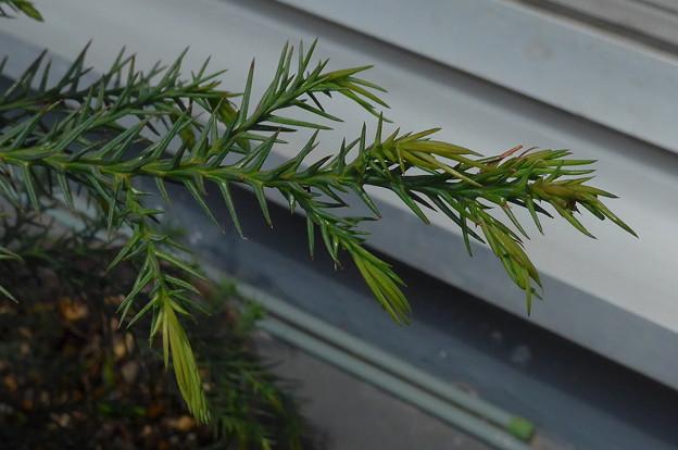写真: 5/10 スギ芽摘み