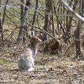 写真: エゾユキウサギ
