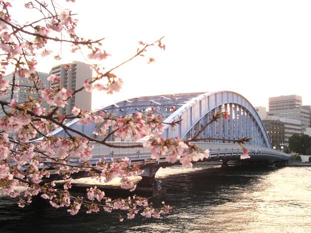 写真: 大寒桜と永代橋