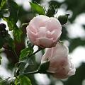 八重咲きムクゲ02