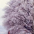 写真: 一心行の大桜