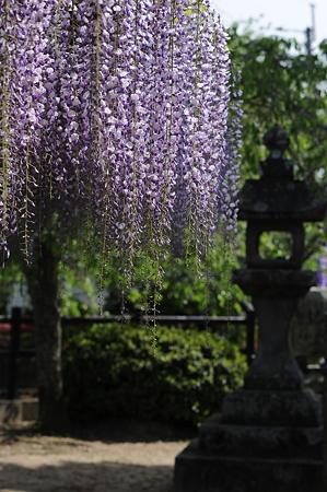 将軍藤(大中臣神社)