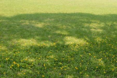 芝生とタンポポ