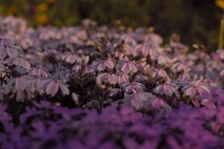 夕暮れの芝桜