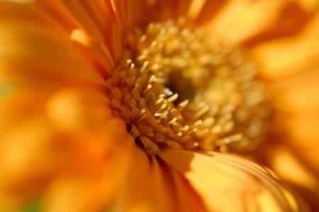 オレンジの花芯