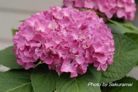 ピンクの大きな紫陽花