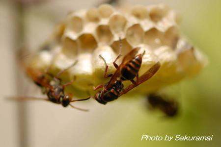 ハチのにらみ合い