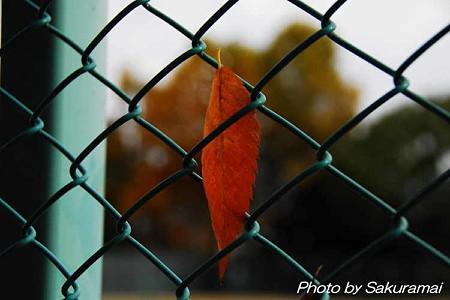 フェンスに張り付く枯葉
