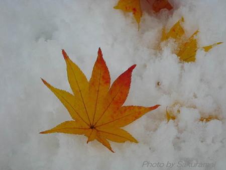 雪にモミジ
