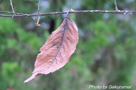 あの枯れ葉は