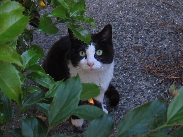 _140518 024 非対称黒白鉢割れ猫