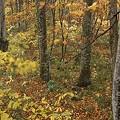 ブナの木~落葉~葉っぱも揺れて