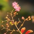 秋のサルスベリ