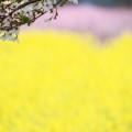 写真: 桜、背景に菜の花・桃の花