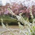 写真: 雪柳・背景にピンクの八重桜